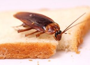 Picture of cockroach on bread