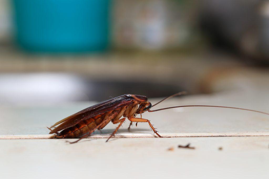 cockroach pest control Dandenong